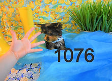 1076%20Male%20Yorkie%20(16)_edited.jpg
