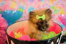 Pomeranian Puppy 1123 (24).jpg