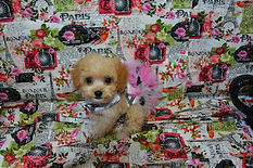 Red Micro Tiny Teacup MaltiPoo Puppy.jpg
