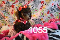 1055%20poodle%20Retakes%20(24)_edited.jp