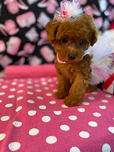 Red Tiny Teacup Red Puppy For Sale (2).j