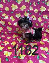 Havanese Chocolate Puppy