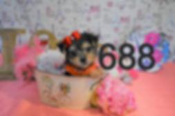688%20Morkie%20%20(6)_edited.jpg