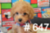 Red Poodle Puppy 647_edited.jpg