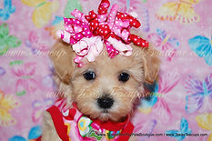 Apricot Female MaltePoo Puppy.jpg
