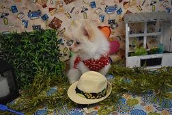 White Pomeranians 1175 jpg.jpg