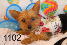 Yorkie%20Puppy%201102%20(12)_edited.jpg