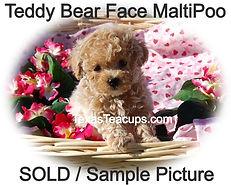 Apricot MaltiPoo Puppy Teddy Bear Face.jpg