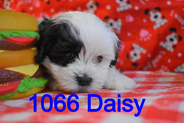 1066%20Male%20Daisy%20%20(9)_edited.jpg