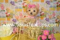 Apricot MaltiPoo Puppy for sale.jpg