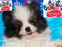 Pomeranian Puppy For Sale Party Colored.