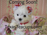 Tiny Maltese Puppies Coming Soon.png