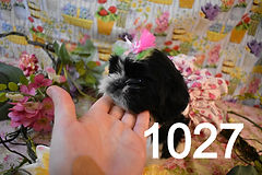ShihTzu%20Puppy%20For%20Sale%201027_edit