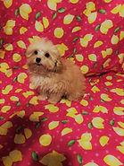 Apricot MaltiPoo Puppy1183.jpg