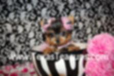Micro Tiny Teacup Yorkie.jpg
