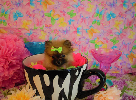 Pomeranian Puppy 1123 (28).jpg