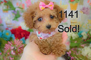 Red%20maltipoo%20Puppy%201141%20(7)_edit