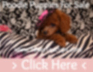 Poodle Puppies For Sale Dallas, Texas