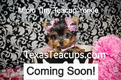 Micro Tiny Teacup Yorkie TX