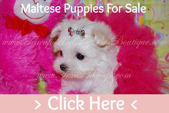 Micro Tiny Teacup Maltese Puppy For sale