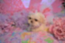 Teacup Daisy Puppy 713 for sale (5).jpg