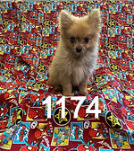 Teacup Pomeranian 1174.jpg