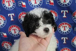 Poodle Parti Color 1184 Puppy .JPG
