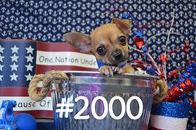 Teacup Chihuahua 2000_edited.jpg