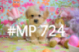 MaltiPoo%20Puppy%20724%20Female_edited.j