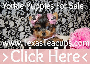 Micro Teacup Yorkie For Sale TX