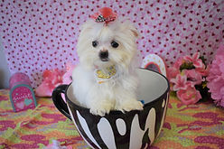 Baby-Face-Teacup-Maltese.jpg