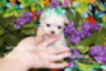 Micro Tiny Teacup Maltese Puppy Breeder.