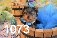 1073%20Male%20Yorkie%20(17)_edited.jpg