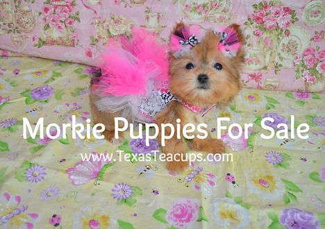 Micro%20Tiny%20Teacup%20Morkie%20red%203