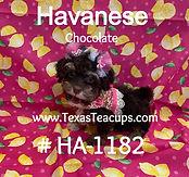 Chocolate Havanese Puppy_edited.jpg