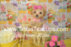 Apricot MaltiPoo Baby Doll Face.jpg