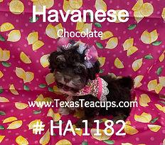 Chocolate Havanese Puppy_edited_edited.jpg
