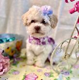 MaltiPoo Puppy 1086 (1).webp