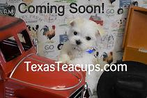 Tiny Maltese Puppies Coming Soon.jpg