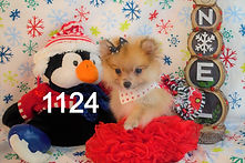 Pomeranian%20Puppy%201124%20(7)_edited.j