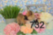 Pomeranian%20Puppy%20for%20sale%20732_ed