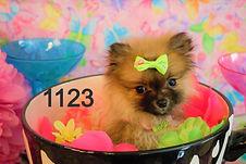 Pomeranian%20Puppy%201123%20(24)_edited.