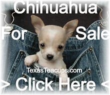 Micro Tiny Teacup Chihuahua For Sale