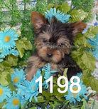 Tiny Teacup Yorkie 1198 (9)_edited.jpg