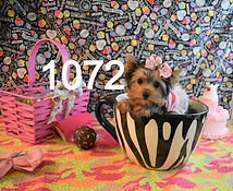 1072%20Female%20Yorkie%20(13)_edited.jpg