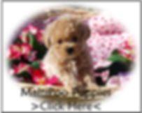 MaltiPoo Puppy for sale in texas.jpg
