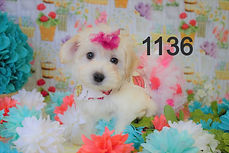 Cream%20Maltipoo%20Puppy%201136%20(8)_ed