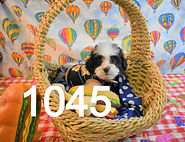 Daisy%20Puppy%20For%20Sale%201045%20%20(