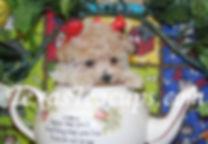 Micro Tiny Teacup MaltiPoo puppy.jpg