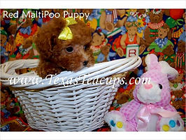 Red MaltePoo Puppies For Sale.jpg